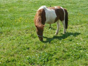 Pony Moritz fühlt sich wohl