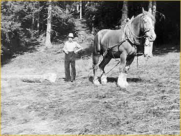 Großvater Johann beim Holzrücken mit einem Schwarzwälder Kaltblutpferd